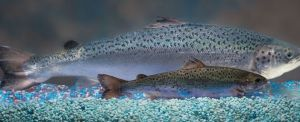 salmonGM