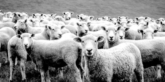 sheep tcw
